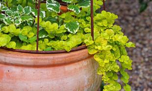Rośliny na tarasie – które gatunki sadzić w donicach?